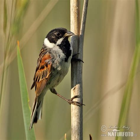 Emberiza schoeniclus Pictures, Reed Bunting Images, Nature